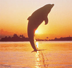 A dolphin jumps out of the water into the air at Jacksonville Beach, FL